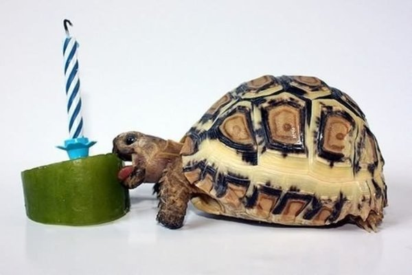 Tortoise-Eating-Birhday-Funny-Animal-Picture